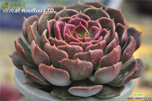 棕玫瑰 Echeveria Brown Rose